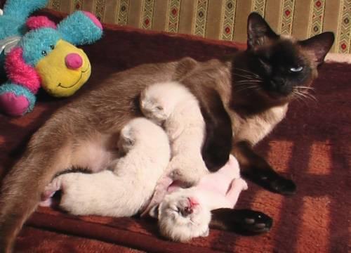 сонник кошка рожала много котят