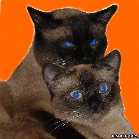 Меконгские бобтейлы, кот и кошка
